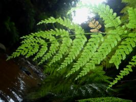 canyon fern by Weatbix