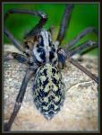Funnel Web Spider by iriscup