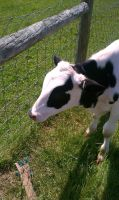 Calf that I got to pet by AliceLovesChes