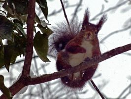 Squirrel12 by Cundrie-la-Surziere