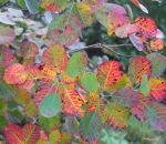 Cotinus coggygria by stellazvezdica