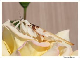 Orchid Mantis: Adult V by oOBrieOo