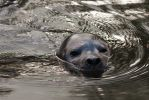 Common Seal by Daan-NL