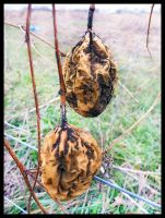 Milkweed Pods by sequential