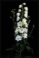WHITE BOUQUET by THOM-B-FOTO