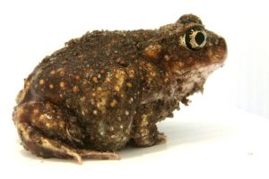 Spade Foot Toad by 1ASP1