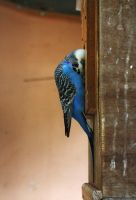 Waiting budgie by SianaLee