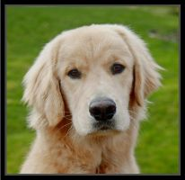 Golden Retriever by andras120