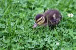duckling by scottdvdr