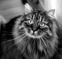 Norwegian forest cat by Ainanas