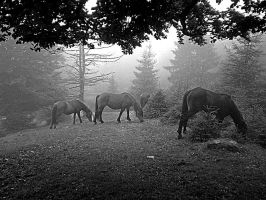 Horses in the fog by spoii