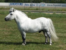 removed tack shetland stallion by suuslovertje