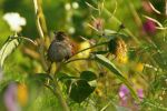 Sparrow in a flower field by cucumber-love