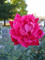 Rose Pink 0 by aragornsparrow