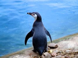 penguin in blue by crazyhorse42