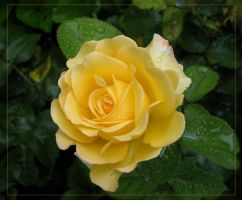 yellow rose by angoma