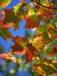 Maple colors by Mogrianne