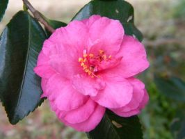 Camellia Tiny Princess by TheLordTaxus