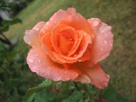 Raindrops and Rose 1 by VittorioMatteo