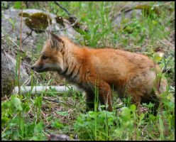 Young Fox by neaters2000