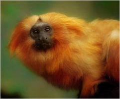 Golden Lion Tamarin by Bella-Blue