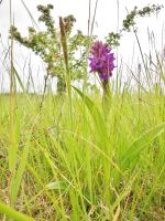 Common Marsh Orchid 2 by RoseSparrow