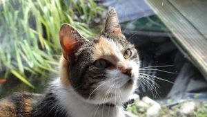 Misty - Headshot Sitting Female Calico Cat by Horselover60-Stock