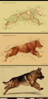Dog anatomy by IC-ICO