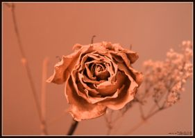 Dry Rose by sicmentale