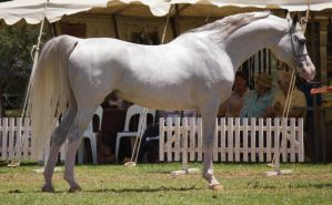 STOCK - TotR Arabians 2013-441 by fillyrox