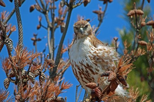 Immature Red-tailed Hawk by arcadian7