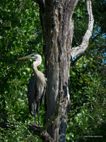 Tree with a heron by Mogrianne
