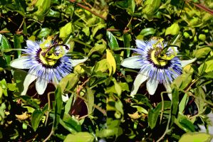 Cut Out Paper Passion Flower Stereo by aegiandyad
