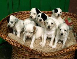 English Setter puppies by greedy-peri