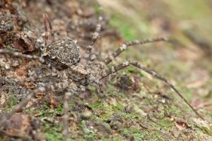 Two-tailed spider Hersilia by melvynyeo