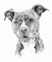 Pitbull by oOChErRyThEbErRyOo