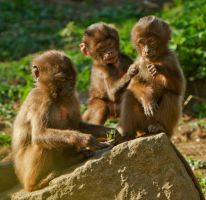 Three Baby Baboons by cathy001