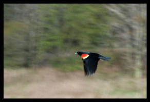 Red-Winged Blackbird in Flight by Jeremyti