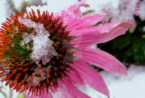 Frosty Coneflower by Sing-Down-The-Moon
