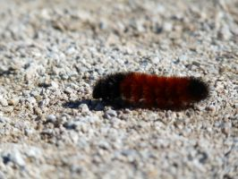 WOOLY BEAR by PUBLIC-DOMAIN-PICS
