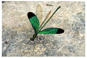 Oriental Green-Wing by kiew1