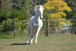 Horse stock - canter front on by Chunga-Stock