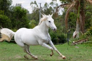 Arab - canter turn a by Chunga-Stock