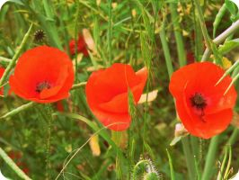 3 Poppies in a row by KisforKatieRose