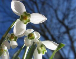 Snowdrops by Dori1990