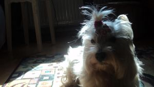 My westie:P by ChesneyCat