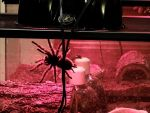 HUGE Curly Hair Tarantula Under Red Bulb 2 by AndPlusAmpersandAlso
