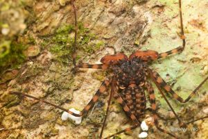 Tailless Whip Scorpion by melvynyeo
