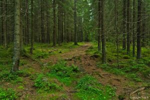 Finnish Forest by Toni-R