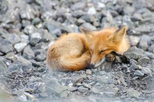 Young red fox by GuillaumGibault